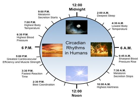 Circadian rhythm clock humans