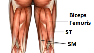 the hamstring muscles are located on the rear of the upper leg, and they  are the biceps femoris, semitendinosus (st) and semimembranosus (sm)
